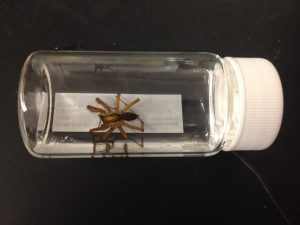 A large spider from the malaise trap samples