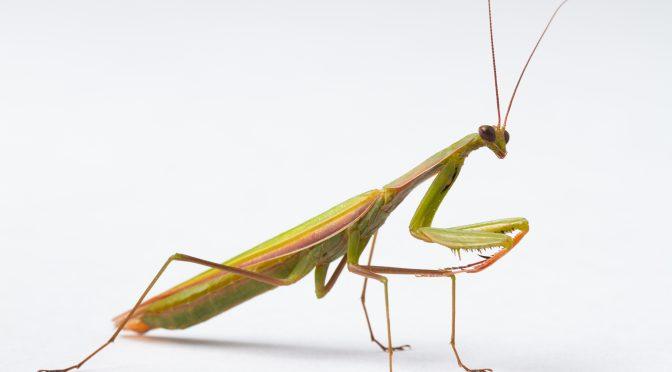 Meet Helix! (Mantis religiosa)
