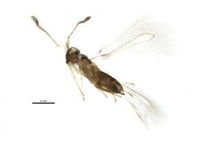 Fairy Fly2