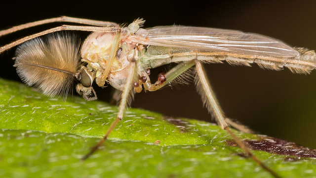 Fall 2014 Interesting Finds: True flies (Order: Diptera)