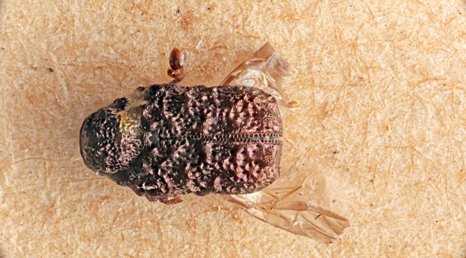Fall 2014 Interesting Finds: Beetles (Order: Coleoptera)