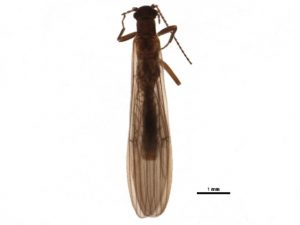 Stonefly (Leuctra sp.)
